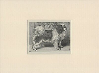 Japanese Chin Old Vintage 1898 Dog Print Ready Mounted