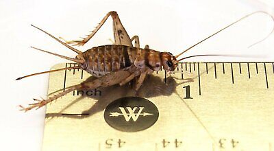 Live Crickets 1000 Large Adult Banded Crickets