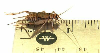 "Live Crickets 3/4"" Banded Crickets (1000 Count)"