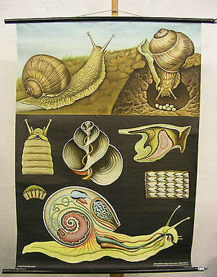 Beautiful Old Schulwandkarte Wall Chart Snail Jkq 82x113cm Vintage~1966