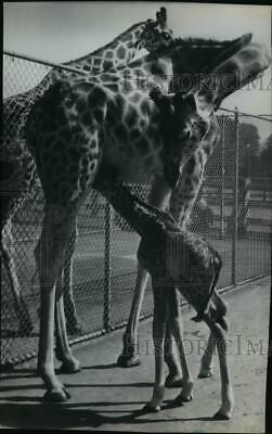 1940 Press Photo Giraffe Family - spx05310