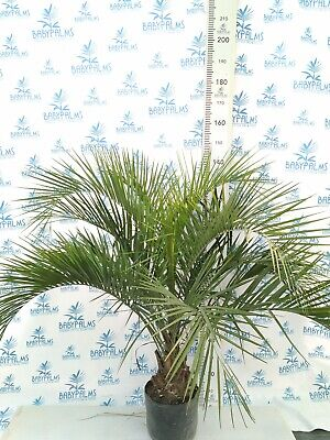 Butia capitata height150 cm,   POT 30 cm