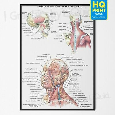 Human Body Head And Neck Muscle Anatomy Poster Chart Educational | A4 A3 A2 A1 |