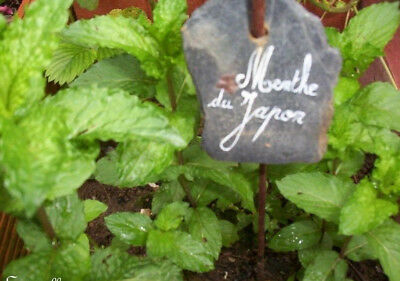♫ Menthe /'CHEWINGUM/' Minta ♫ Graines ♫ COLLECTION Pltes Aromatiques Gustatives