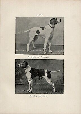 Pointer Named Dogs Old Antique 1900 Dog Print Page