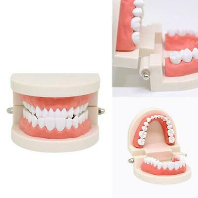 Dental Typodont Model Teaching Model Demonstration With Removable Teeth Adu P0X7