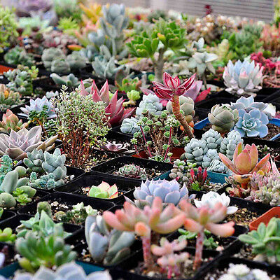 400pcs Mixed Succulent Seeds Lithops Rare Living Stones Plants Cactus Home BS