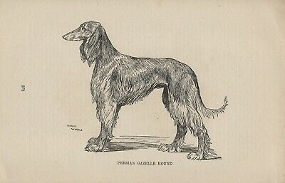SALUKI PERSIAN GAZELLE HOUND OLD BOOKPLATE PAGE DOG PRINT by ARTHUR WARDLE