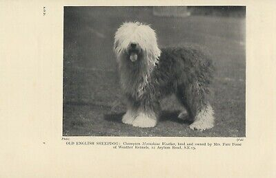 Old English Sheepdog Old Vintage 1950'S Page Print