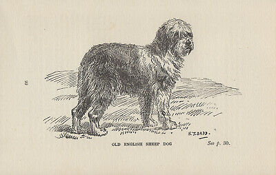 Old English Sheepdog Old 1904 Antique Engraving Print Page Artist S T Dadd