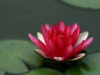 1 Bareroot Pot Luck Water Lily Plant For Your Pond Or Lake