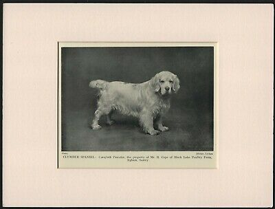 Clumber Spaniel Old Vintage 1950 Named Dog Print Ready Mounted