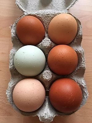 6 x Fertile Hatching Chicken Eggs - Mix Of Pure Breeds Fast 1st Class Postage :)