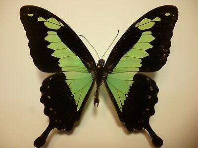 Real Dried Insect/Butterfly Non-Set.B5268  Green Swallowtail Papilio phorcas 8cm