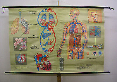 Wall Picture Breathing Circulation Lung Bronchia 171x115cm Vintage Chart ~ 1962