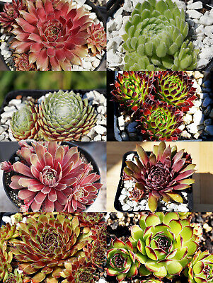 "Sue Thomas Züchterin Sempervivum /""Plum Frosting/"" 2 Ableger"
