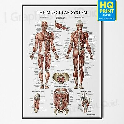 Muscular System Human Chart Muscle Anatomy Educational Poster Print A4 A3 A2 A1