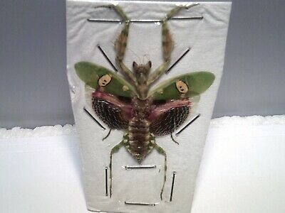 Real Dried Insect/Butterfly/Moth Set B5362 Female Creobroter gemmatus Mantis