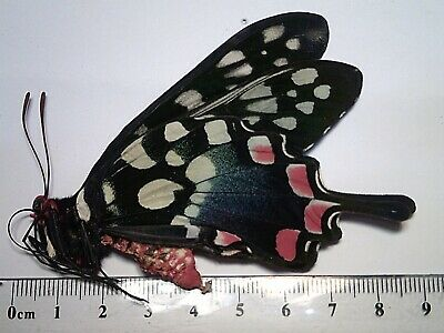 Butterfly/Moth/Insect Non Set B5361 Rare Male Papilio(Pharmacophagus) antenor A+
