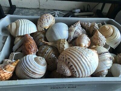 authentic sea shells 15 to 30 cms