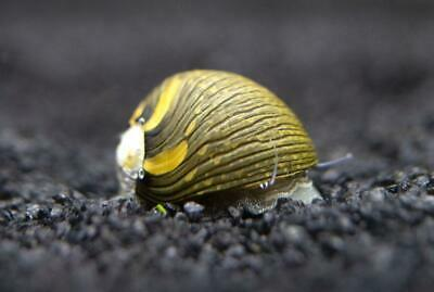 Large Size Zebra nerite algae eating snail Tropical Fish Aquarium live