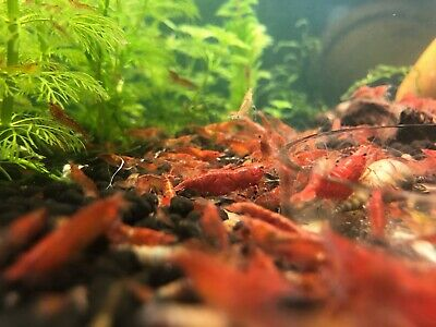 10 Red Cherry Shrimp neocaridina homebred freshwater live MIXED GRADE