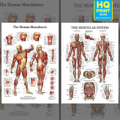 Human Body Muscle Anatomy System Educational Poster Anatomical Chart A4 A3 A2 A1