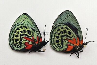 PAIR OF ASTEROPE LEPRIEURI OPTIMA UNMOUNTED A1 BUTTERFLIES male & female 2sp