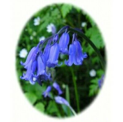 100 Hyacinthoides Non-Scripta ☆ Stunning English Bluebells ☆ X Large 6/7 Bulbs