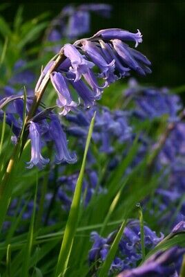 50 Hyacinthoides Non-Scripta ☆ Stunning English Bluebells ☆ X Large 6/7 Bulbs