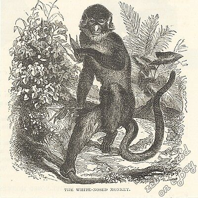 White-Nosed Monkey: antique 1866 engraving print: primate picture nature drawing
