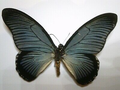 Real Butterfly/Moth/Insect Non Set B5659: Rare large Papilio zalmoxis: Africa: