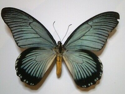 Real Insect/Butterfly/Moth Set/Spread B5675 Rare Papilio zalmoxis 14 cm