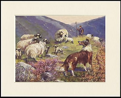 Rough Collie Shepard Sheep Lovely Little Dog Art Print Mounted Ready To Frame