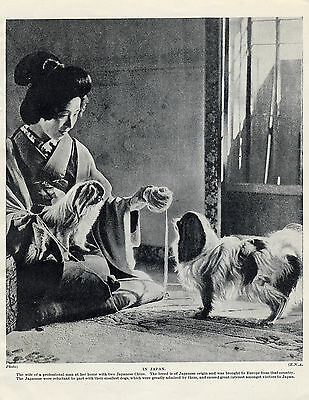 Japanese Chin Lady And Her Dogs Lovely Old Original Dog Print From 1934
