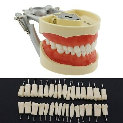 Nissin Kilgore 200 Style Dental Typodont Model Removable 32 Pcs Teeth Practice