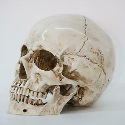 Realistic 1:1 Resin Model Retro Human Skull Replica Medical Art Teach Life Sizes