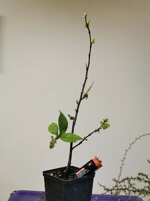 Chinese Quince Bonsai Tree Starter Material Pseudocydonia Sinensis 2