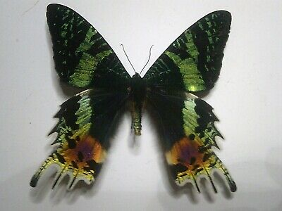 Butterfly/Insect/Moth Non Set B6009 Lge Rare Urania ripheus Madagascar A+ A