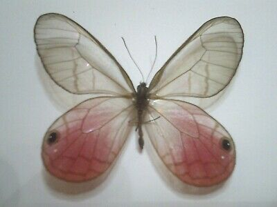 Butterfly/Insect/Moth Non Set B6063 Red/Clear winged Cithaerias aurorina Rare