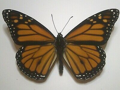 Real Butterfly/Insect/Moth Non Set B6076 Danaus plexippus: Monarch: A++