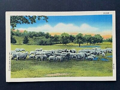 Curt Teich Farm Scenes Series, Sheep Herd, Vintage Linen Postcard Unused