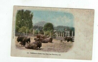 "Antique Animal Post Card ""Buffaloes in Golden Gate Park San Francisco"""