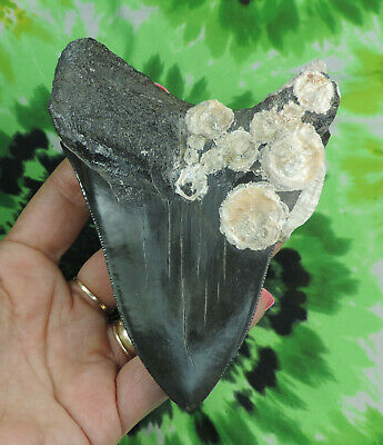 Megalodon Sharks Tooth  4 15/16'' inch NO RESTORATIONS fossil sharks teeth tooth