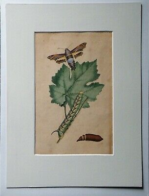 Early 19th Century Painted Study of a Moth / Butterfly