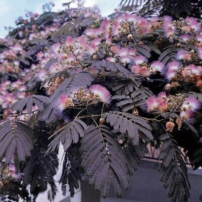 *** 6 Graines Albizia Summer Chocolate Rare ***