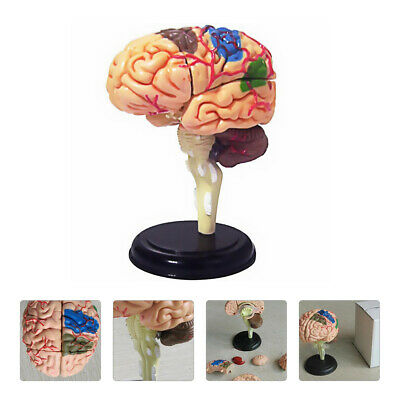 1pc Study Classroom  Realistic Teaching Brain Model Science Model