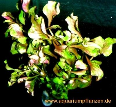 15 Bunde Alternanthera bettzickiana `Aurea', farbig