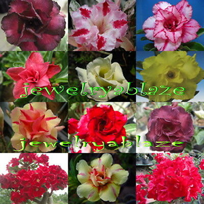 "Adenium Obesum Desert Rose ""Mixed"" 100 Seeds 12 Type!"
