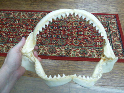 "(sj30-130) 13"" BULL SHARK jaw sharks jaws teeth taxidermy science ichthyology"